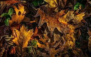 Фотография Осенние Дуб Листья Иней