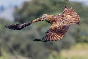 Фотографии Птицы Летящий Black kite животное