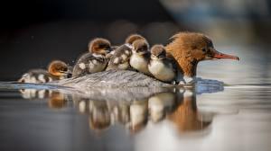 Картинки Птицы Утка Птенец Вода Животные