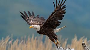 Обои для рабочего стола Птица Орел Белоголовый орлан Взлетает животное