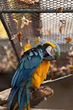 Обои для рабочего стола Птица Попугаи Ара (род) животное