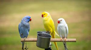 Фотографии Птица Попугаи Боке Трое 3 Животные