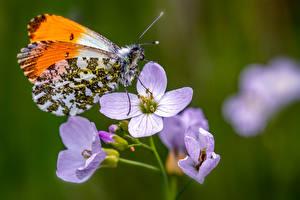 Картинки Бабочки Насекомые Вблизи Размытый фон Orange Tip