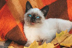 Картинки Кошки Взгляд Котята Balinese cat Животные