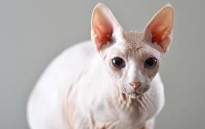 Фотография Коты Сфинкс кошка Боке Смотрят Голова