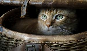 Картинки Коты Корзинка Взгляд