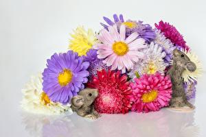 Фото Хризантемы Мыши Серый фон Разноцветные Двое Цветы