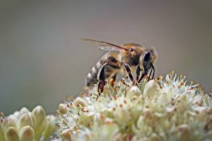 Картинки Вблизи Пчелы Насекомые