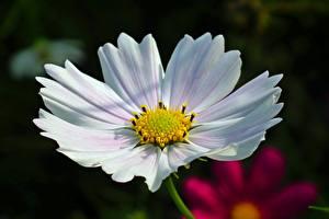 Фото Вблизи Космея Боке Белая цветок