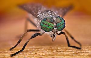 Картинка Вблизи Макро Глаза Насекомое Капельки Horsefly Животные