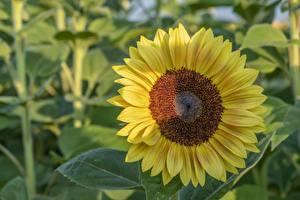Картинка Вблизи Подсолнечник Желтая цветок
