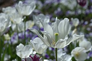 Картинки Вблизи Тюльпаны Белые Цветы