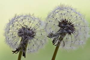 Фотографии Одуванчики Вблизи Двое Цветы
