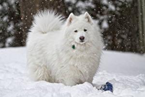 Обои Собака Самоедская собака Снега Белый Смотрит животное