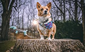 Картинки Собаки Вельш-корги Пне Взгляд Животные