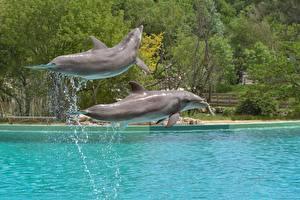 Обои Дельфины С брызгами 2 Прыжок Животные