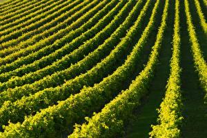 Фотографии Поля Виноградник Grape plantation