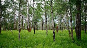 Картинка Лес Береза Дерево Траве