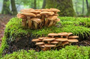 Фото Леса Грибы природа Пне Мхом pholiota mutabilis