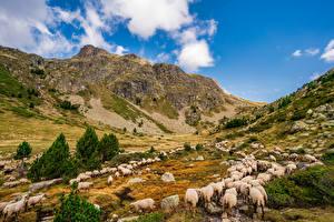 Обои Франция Гора Овцы Долина Стадо Скала Aston, Pyrenees Природа