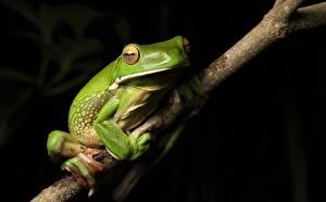 Картинки Лягушка На ветке Зеленых White-lipped Tree frog Животные