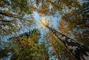 Фотография Германия Лес Осенние Ствол дерева Вид снизу Береза Niederrathen Природа