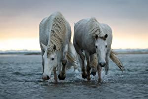 Фотографии Лошадь Воде Вдвоем Белых животное