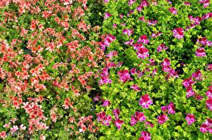 Картинки Много pelargonium цветок