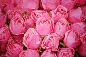 Фотографии Розы Много Розовые цветок