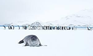 Обои для рабочего стола Тюлени Пингвины Снега King Penguins животное