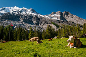 Картинка Швейцария Горы Луга Коровы Скала Лежат Природа Животные