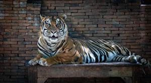 Фотография Тигр Стенка Стола Лежа животное