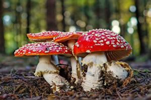 Фотография Мухомор Грибы природа Крупным планом Природа