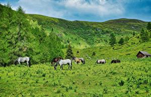 Обои Австрия Луга Лошадь Холмов Ель Природа Животные