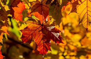 Фотографии Осень Вблизи Клёновый Лист Природа