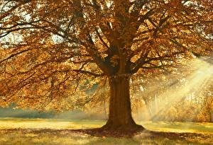 Фотографии Осень Лучи света Дерево Ветки Linden