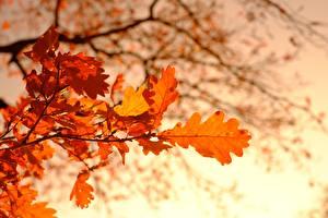 Фотография Осень Дуб Боке На ветке Листья