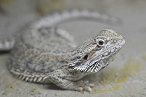 Фото Ящерица Размытый фон Смотрит Bearded Agama животное