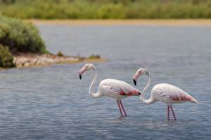 Картинки Птица Фламинго Вода Вдвоем животное