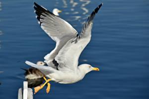 Фотография Птицы Чайка Летящий Крылья животное