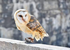 Обои Птицы Совы Боке Common Barn Owl