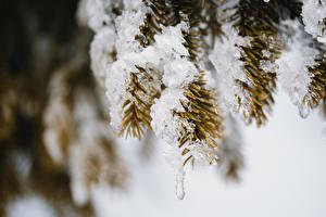 Фотография Боке Ветки Снег Ель Льда Природа