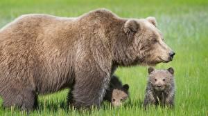 Фотографии Медведь Бурые Медведи Детеныши Три животное