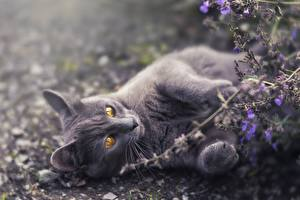 Картинка Кошки Серая Лап Лежа Животные