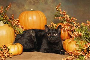 Обои Кошка Хеллоуин Тыква Черных Животные