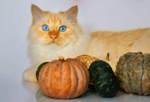 Картинки Кошка Тыква Сером фоне Животные