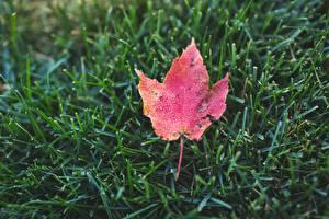 Фото Крупным планом Осень Траве Лист Природа