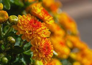 Картинки Крупным планом Хризантемы Боке Бутон Желтая