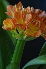 Картинка Вблизи На черном фоне Оранжевая Clivia цветок