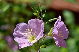 Картинка Вблизи Розовые Двое Размытый фон Evening primrose, Oenothera biennis цветок